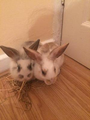 Mini loop and mini loop lion head bunnies
