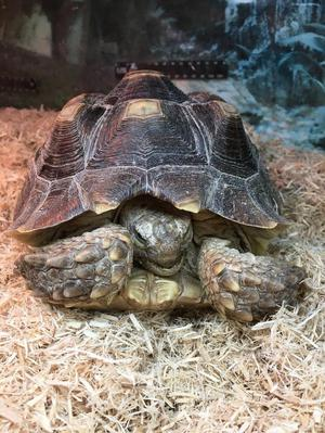 4 Year Old Female Sulcata Tortoise