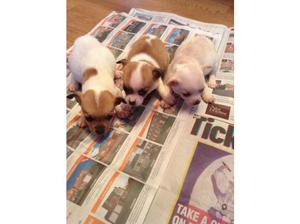 Chihuahua puppies. in Telford