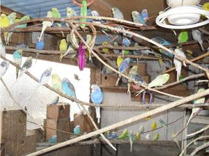 budgies for sale in Sheffield