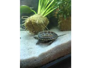 4 turtles for sale in Pontypridd