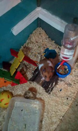 Syrian hamsters free to a good home