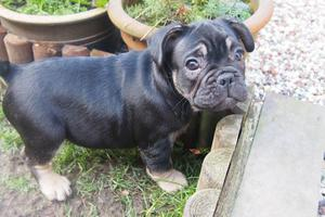 Black and Tan French Bulldog pup Triple Carrier