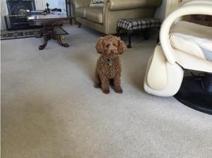 Yogi is our proven Fox Red Toy Poodle KC reg PRA Clear in