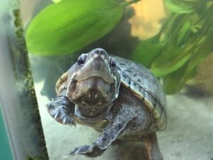 4x turtles for sale