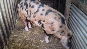 oxford sandy and black boar for sale