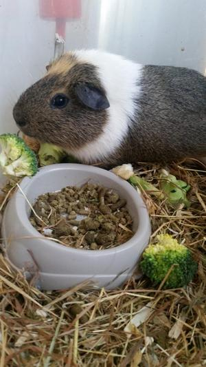 Male guinea pig, 2 years old. Loving home wanted.