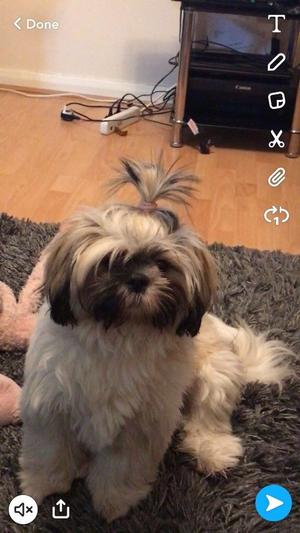 Shih Tzu pup needs a loving home ASAP