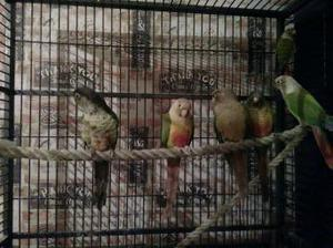 6 conures for sale
