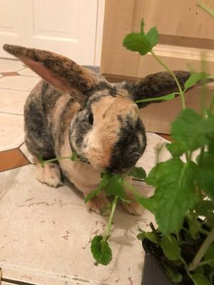 Baby boy rabbit with large outdoor hutch 5 months old £60