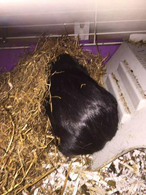 2 male guinea pigs for sale and full set up