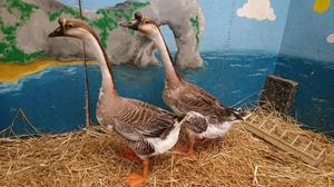 A pair of Chinese Geese