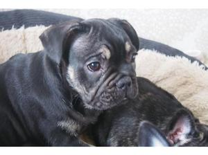 Black and Tan French Bulldog pup Triple carrier in Rotherham