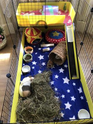 2 bonded female guinea pigs 1yr inc. cage