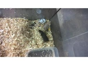FANCY MICE FOR SALE in Nuneaton