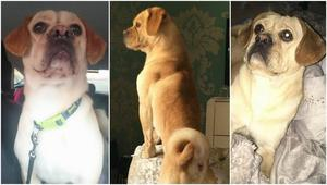 LOVING HOME WANTED FOR PUGGLE