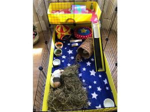 2 bonded female guinea pigs, 1 yrs, cage included in