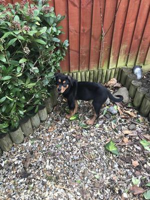 Rottweiler Puppy (Boy)