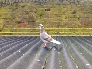 Pretty garden doves all colours