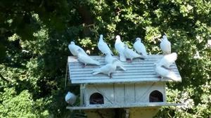 White garden Doves pair