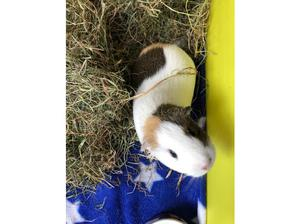 2 bonded female guinea pigs, 1 yr old in Ilfracombe