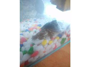 2Musk turtles and set up. in Stoke On Trent