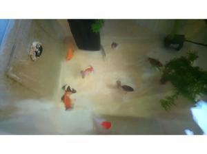 7 goldfish looking for a good home - they have found a good