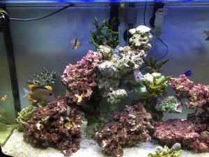 Marine fish Gold rush tang