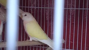 Stunning Lutino Bourke parakeets