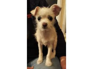 CHIHUAHUAS X CHINESE CRESTED in Nottingham