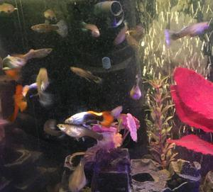 12 Guppy Hybrids Tropical Fish. King Cobra, Snakeskin, Tuxedo, Endlers, Neon