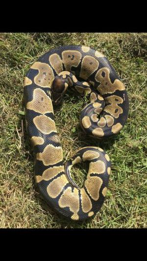Het Albino Royal Python