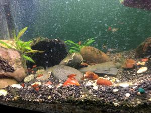 Red Platy fry and fish for sale