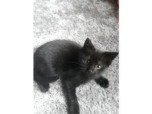 Black short haired girl kitten for sale in Milton Keynes