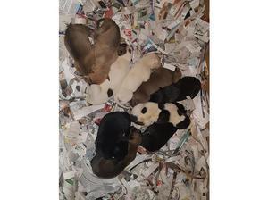 Greyhound x puppies in Buckfastleigh