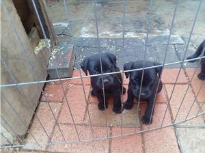 Patterdale terrier in Dunstable