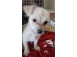 Beautiful Male Chinese Crested Chihuahua Puppy in Bridgend