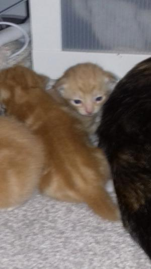 3x male ginger kittens for sale £50