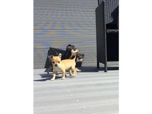 Chihuahua male puppys for sale in West Bromwich