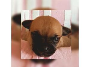 Chihuahua pedigree puppies in Wirral