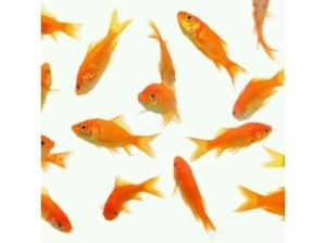 GOLDFISH WANTED FOR POND in Lytham St. Annes
