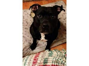 Beautiful 5 year old black and white staffordshire bull