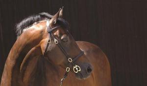 NEW Caldene Inhand Bridle Top Quality Leather Havanna Pony