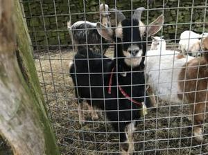 Friendly Goat for sale and looking for a new home.