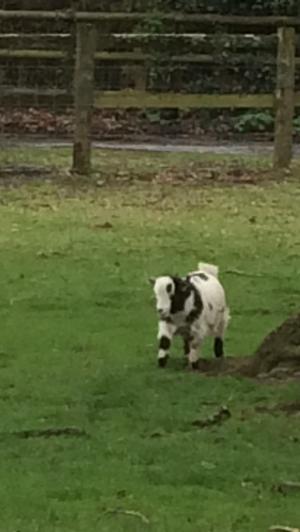 Pygmy Goat wether
