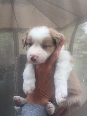 One brown Welsh collie Merle with blue eyes.mum short hair welsh collie and dad is brown Merle.
