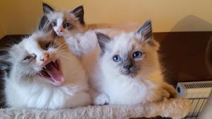 Ready now. I have for sale 4 ragdoll kittens