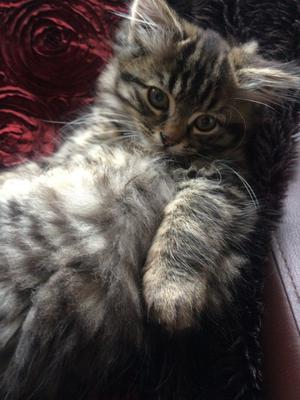 Very fluffy and sweet Bengal X kitten looking for his forever home