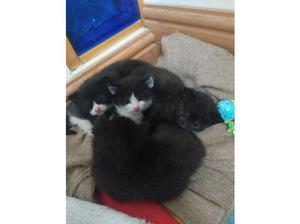 2 black kittens for sale in Lymm