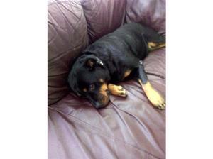 Female Rottweiler for her forever loving home in Wigan